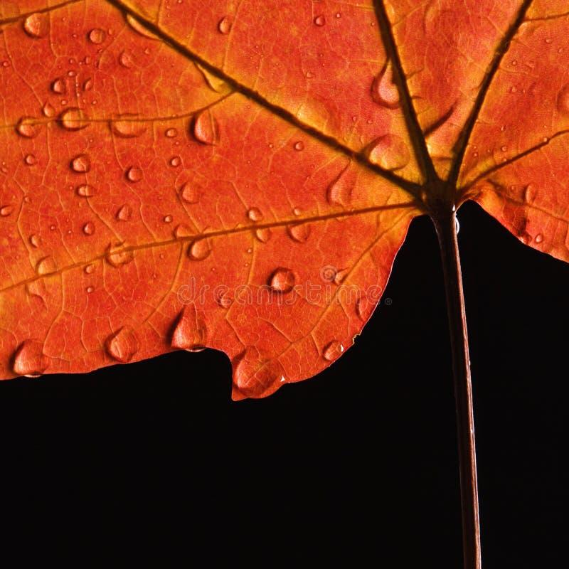 下落叶子槭树水 免版税库存照片