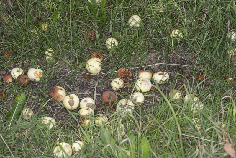 下落在地面上的被损坏的和腐烂的苹果 免版税库存图片
