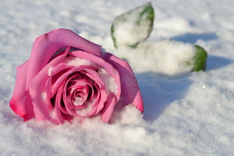 下落在雪上升了 免版税库存照片