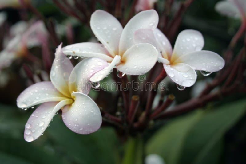 下落热带花的雨 免版税库存照片