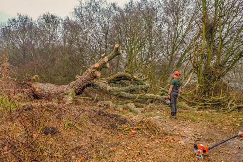 下落的大树在森林里 库存图片