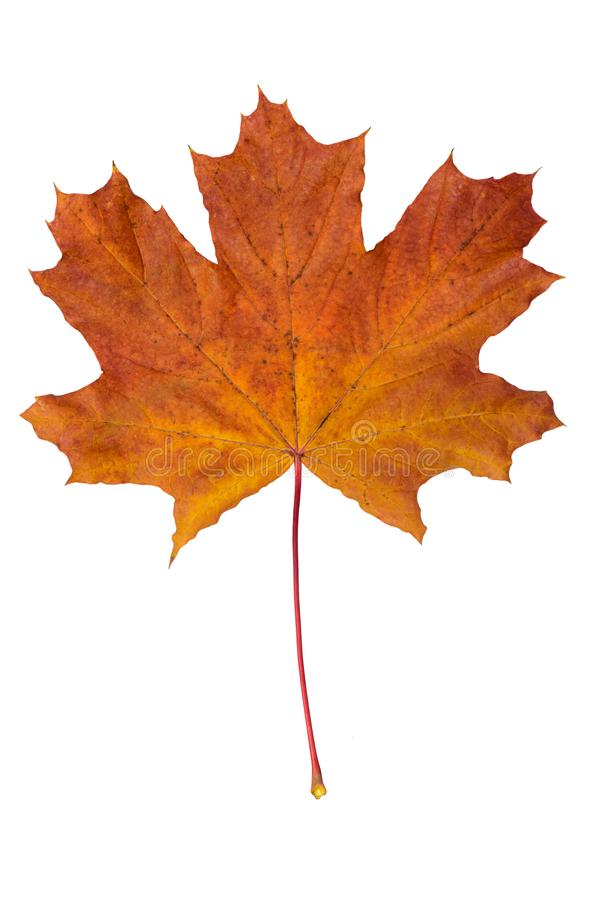 下落的干燥枫叶 免版税库存照片