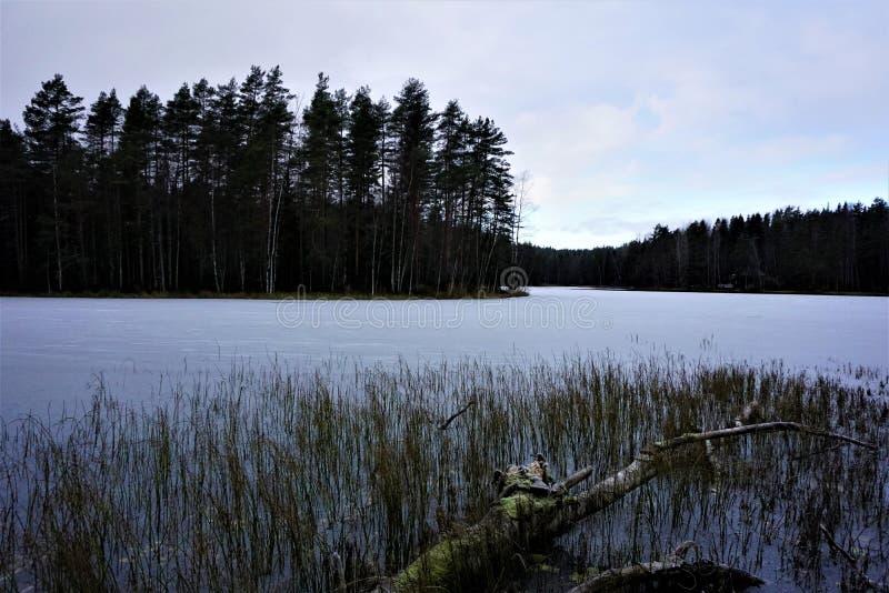 下落的树和芦苇在冻湖Haukkalampi 免版税库存图片