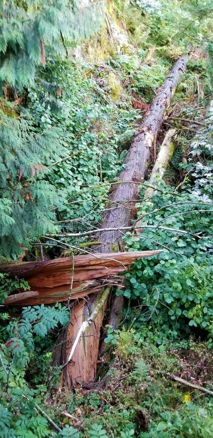 下落的树在加拿大人落矶山森林里- 免版税库存图片