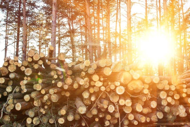 下落的树在堆在日志,采伐的日志,木材料,晴朗的森林日落在森林里,背景,拷贝空间, 图库摄影