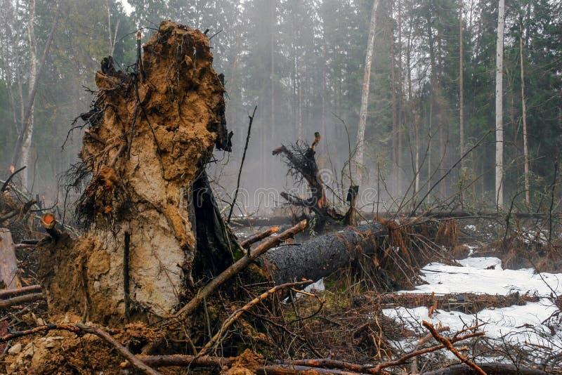 下落的树在森林里 库存图片