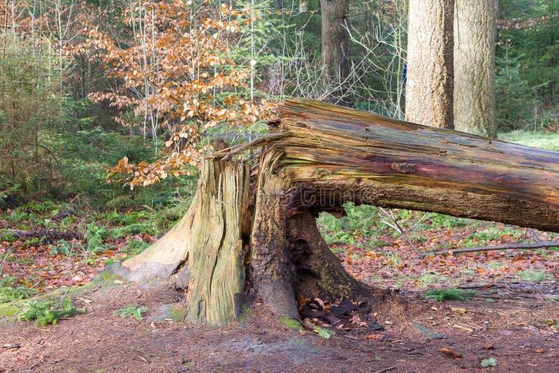 下落的树在荷兰森林里 免版税库存照片