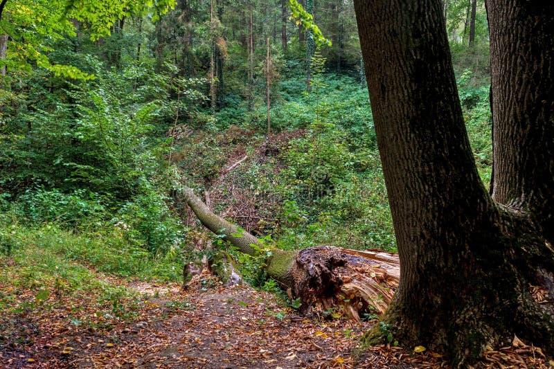 下落的树在雨以后的森林里 库存照片
