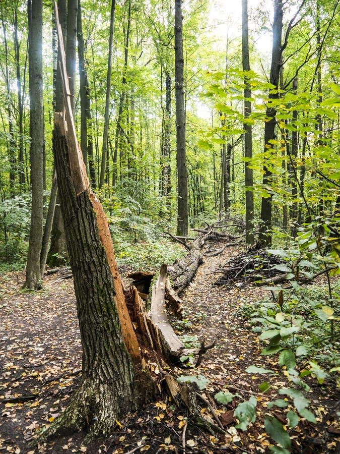 下落的树打破的注册秋天森林 免版税库存照片