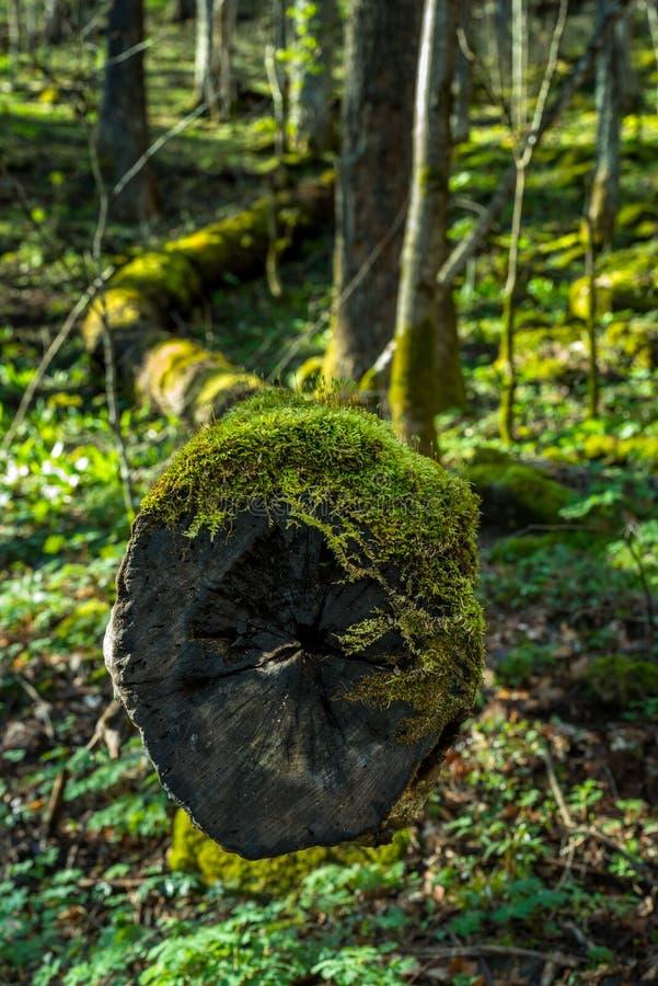 下落的树的末端在森林 库存照片