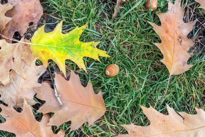 下落的橡木叶子和橡子在绿草在城市公园或森林早期的秋天季节的 美好的明亮的自然秋天 库存图片