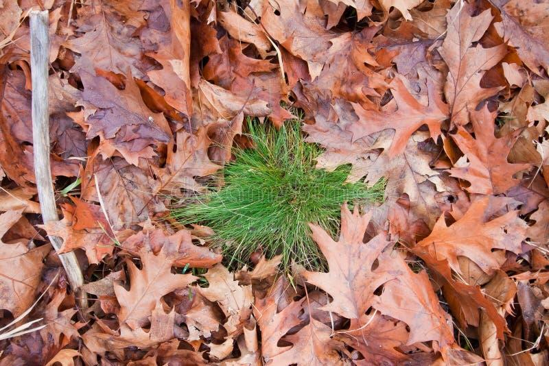 下落的橡木离开与绿草在秋天领域,季节性五颜六色的背景纹理照片灌木  免版税库存图片