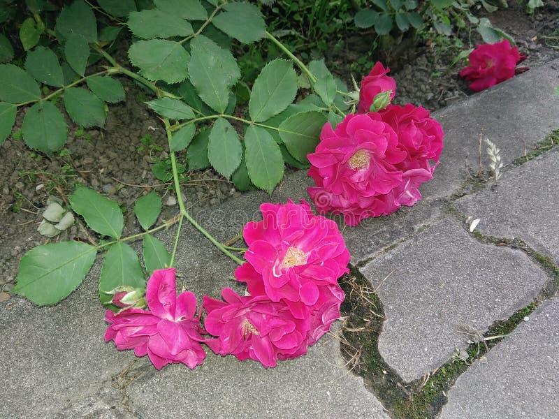 下落的玫瑰 库存图片