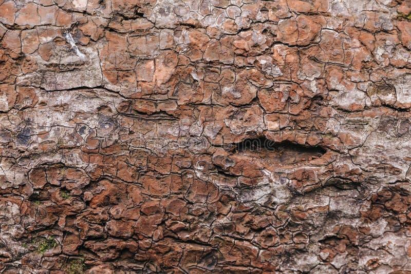 下落的红色皮肤树纹理到Kew Mae平底锅在清迈,泰国 免版税库存照片