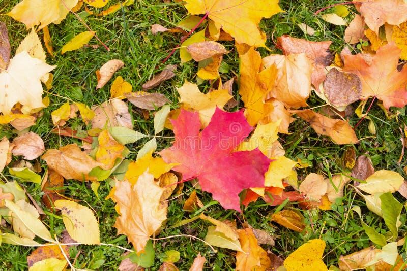 下落的红色黄色枫叶秋天设计背景五颜六色的植物群在绿草背景的 免版税图库摄影