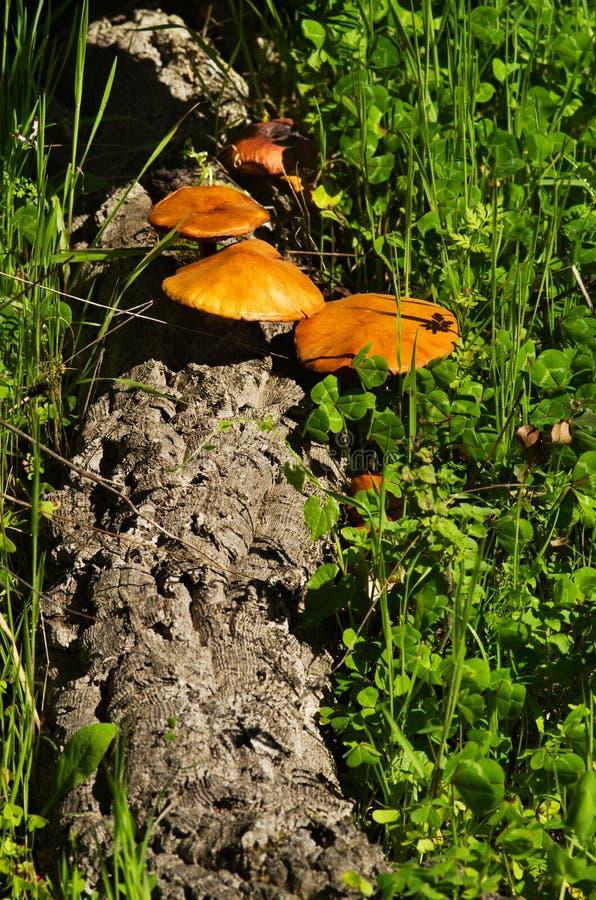 下落的软木树日志用蘑菇- Gymnopilus suberis 免版税库存照片