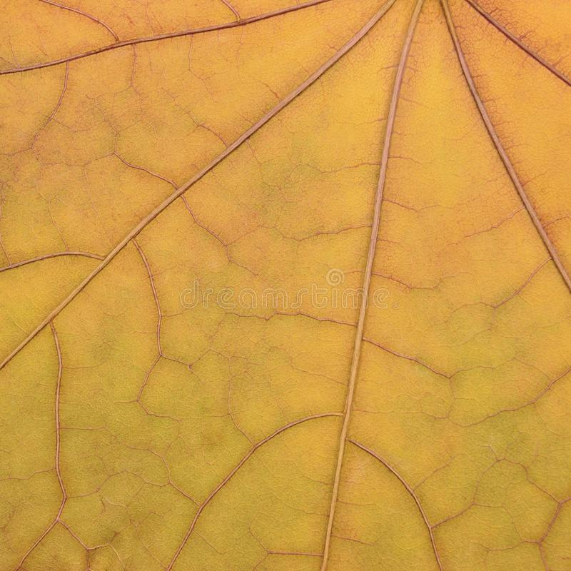 下落的金黄黄色枫叶纹理样式,秋天秋天难看的东西葡萄酒干燥标本集摘要背景,大详细脏 库存图片