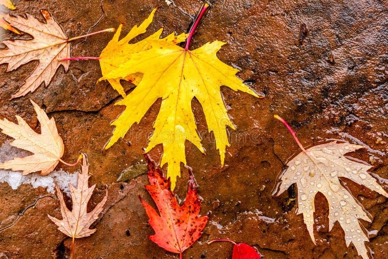 下落的黄色和红色秋天槭树叶子 免版税库存照片