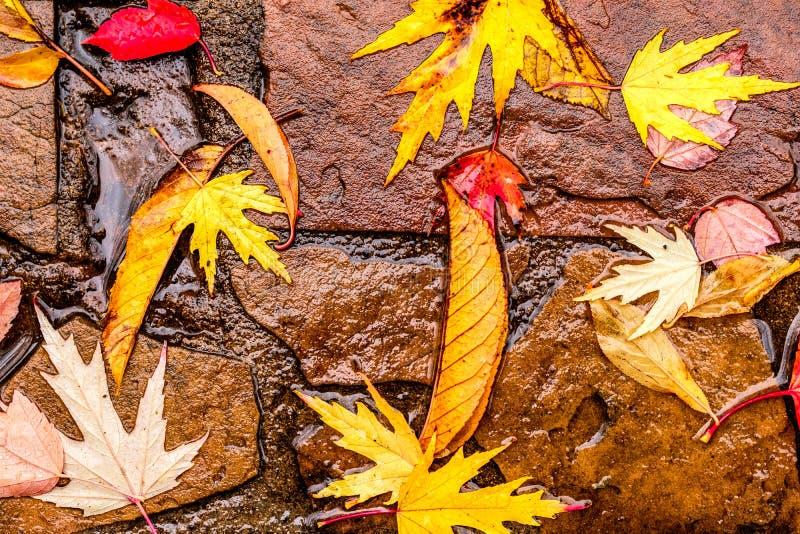 下落的黄色和红色秋天槭树叶子 免版税图库摄影