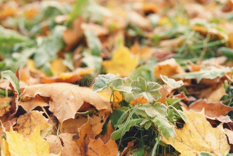 下落的结霜的秋叶在镇里在地面停放 库存图片