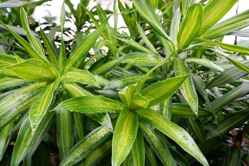 下落软的焦点与叶子com植物或龙血树属植物树的作为背景 库存照片