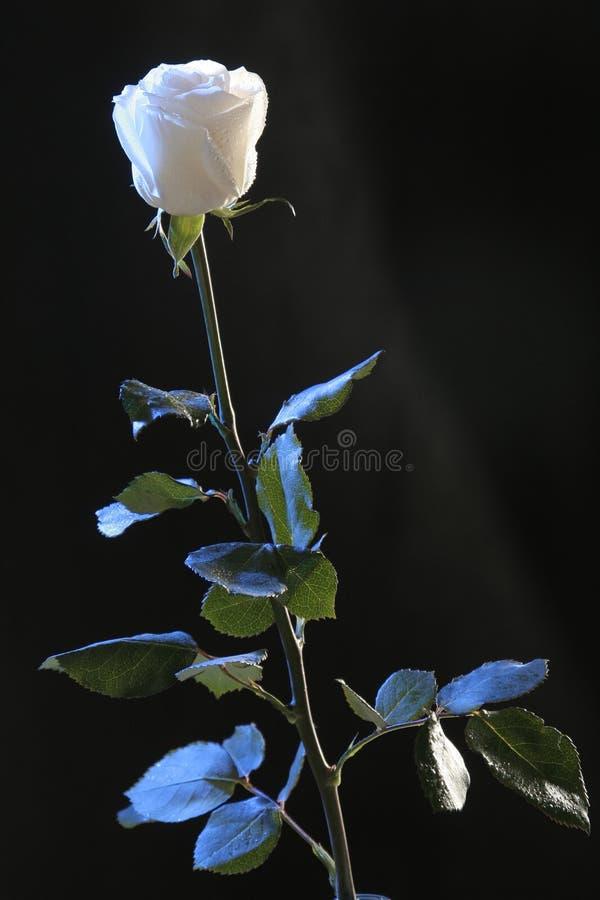 下落镭玫瑰白色 库存图片