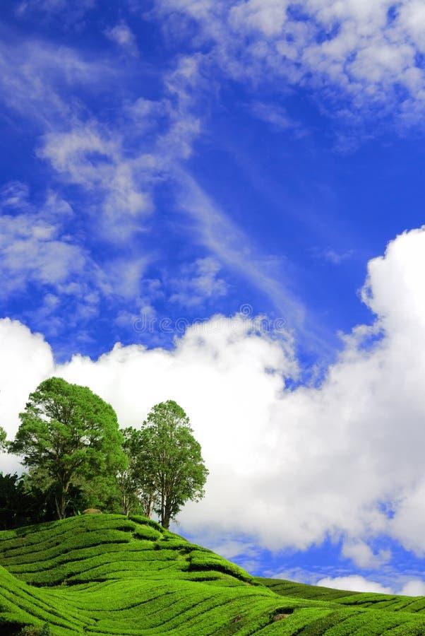 下蓝色种植园茶 库存图片
