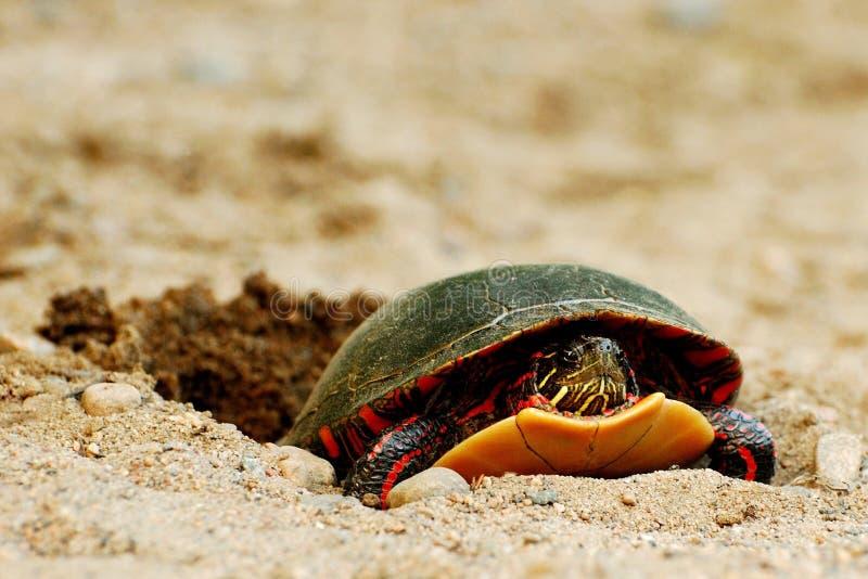 下蛋被绘的乌龟 免版税库存图片