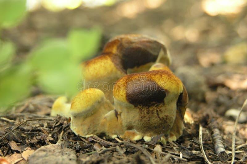 下跌蘑菇 图库摄影