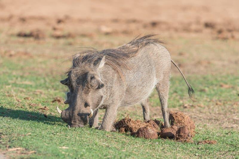 下跪在大象粪的warthog吃草图片