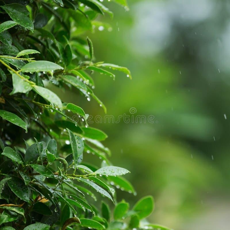 下雨下跌在绿色叶子树的下落自然 库存照片