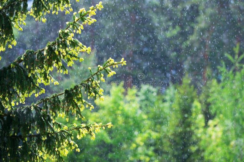 下雨天和云杉的分支 免版税库存图片