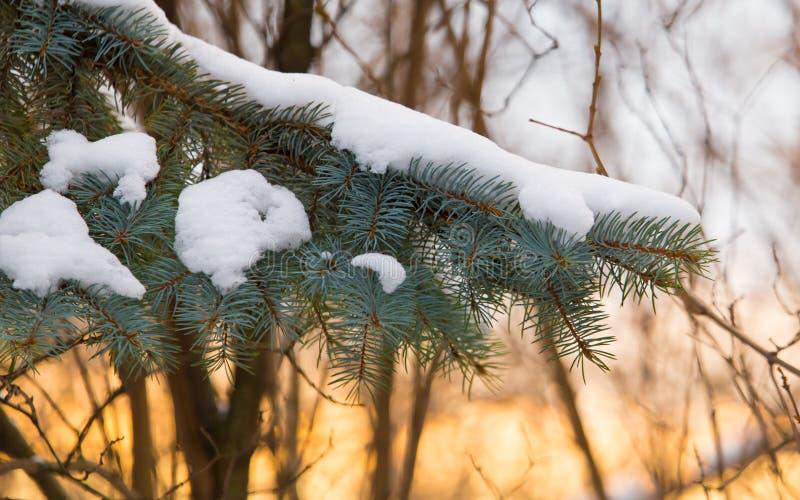 下雪在一棵针叶树在日出早晨 免版税库存照片