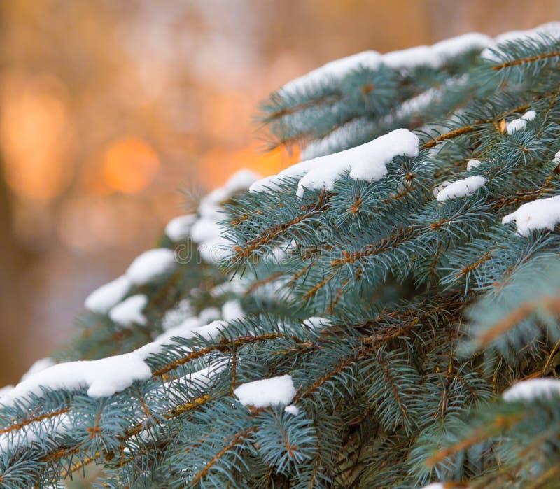 下雪在一棵针叶树在日出早晨 免版税库存图片