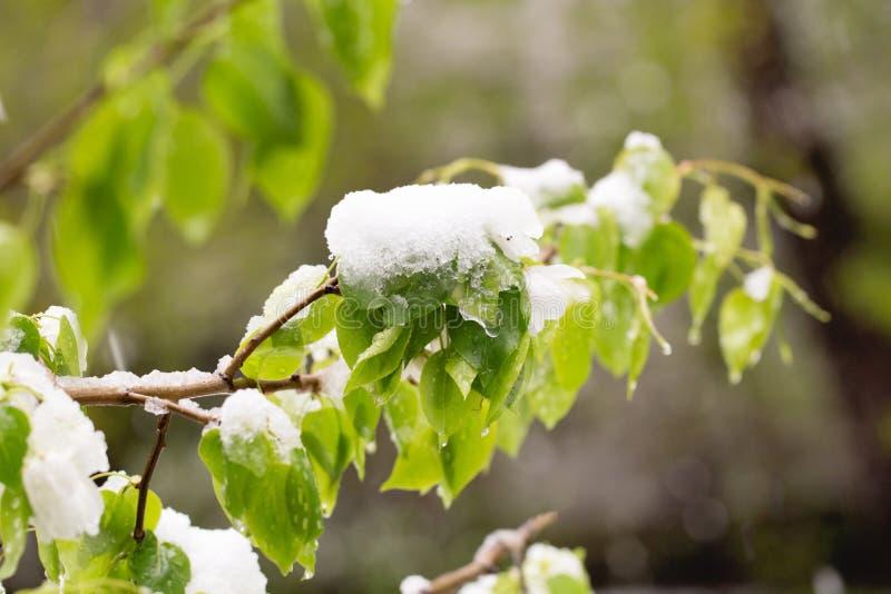 下雪在开花的树在春天 库存照片