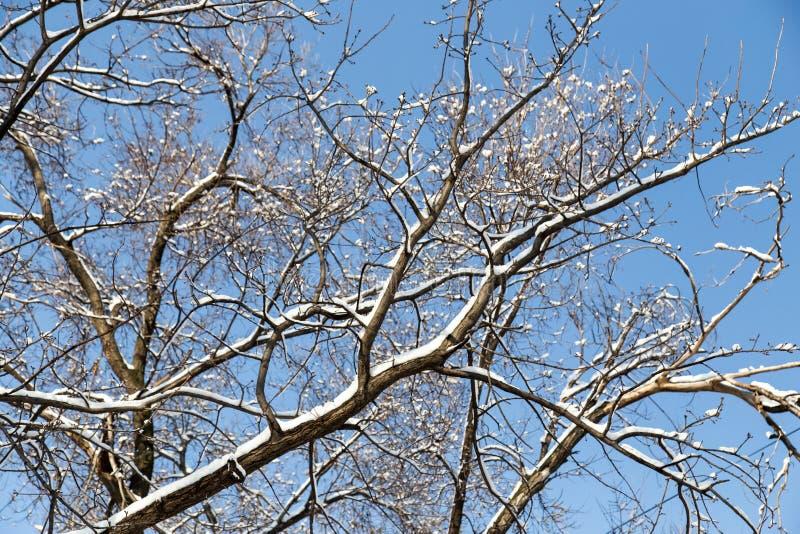 下雪在树的光秃的分支反对蓝天 图库摄影
