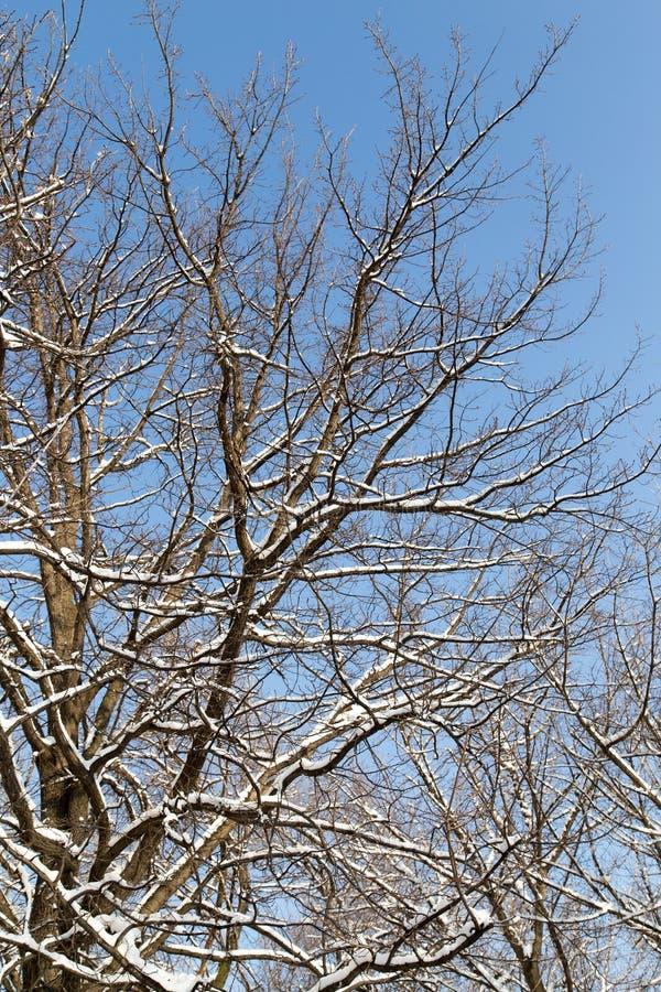 下雪在树的光秃的分支反对蓝天 库存图片