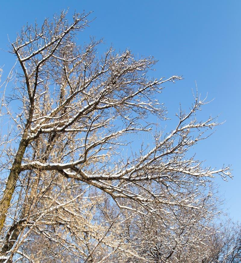 下雪在树的光秃的分支反对蓝天 库存照片