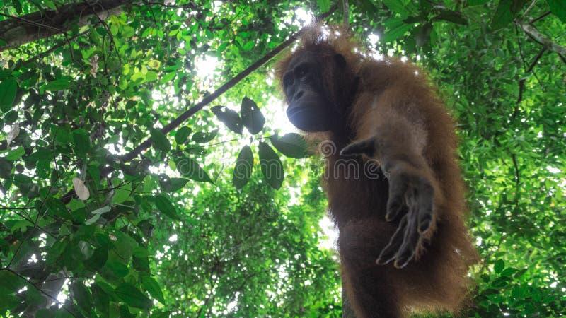 下面下来少年猩猩伸手可及的距离 免版税库存图片