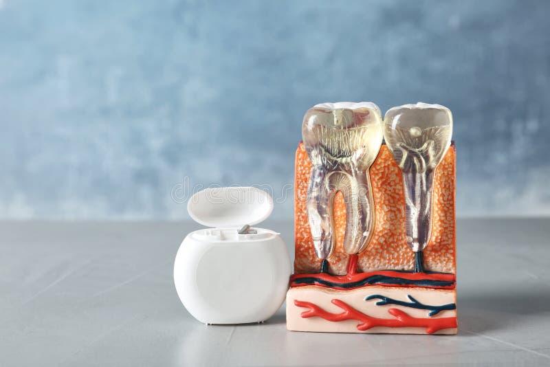 下颌部分教育模型与牙和牙线的在桌上 免版税图库摄影