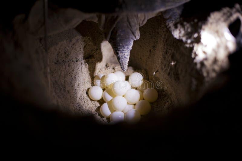 下鸡蛋的乌龟。 图库摄影