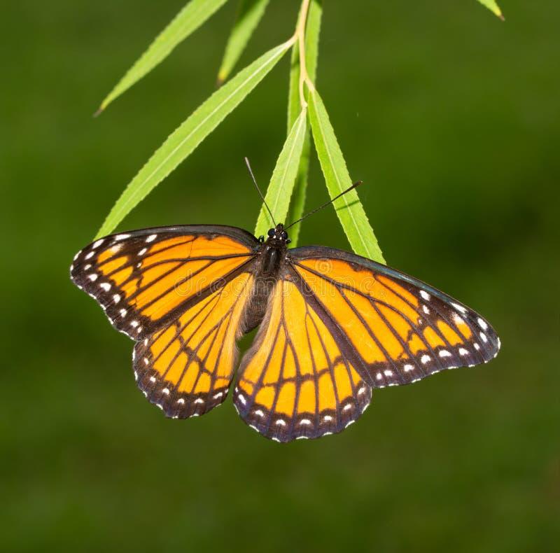 下鸡蛋的母总督蝴蝶在柳树叶子技巧.图片