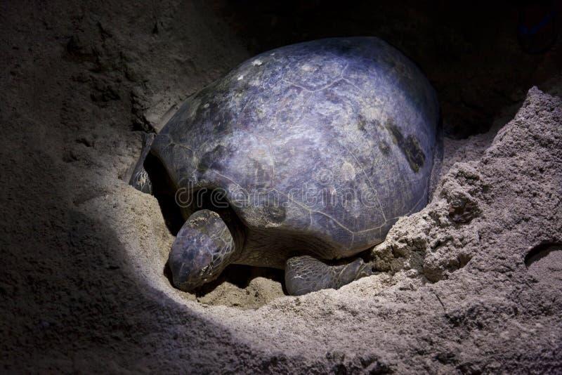 下鸡蛋的绿海龟在海滩在晚上 图库摄影