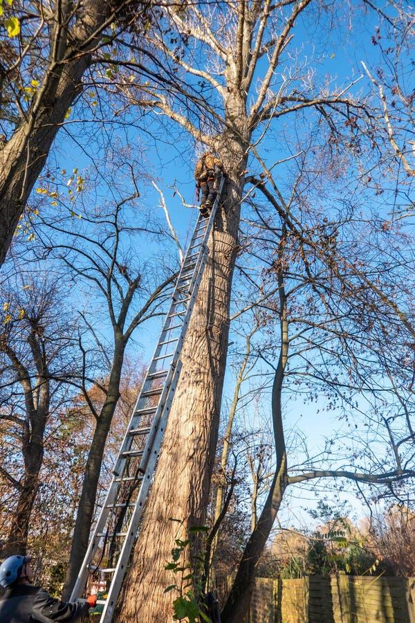 不伦瑞克,11月17日 2018年:倾斜反对白扬树的梯子的树登山人 帮手拿着在地面上的梯子 免版税库存照片