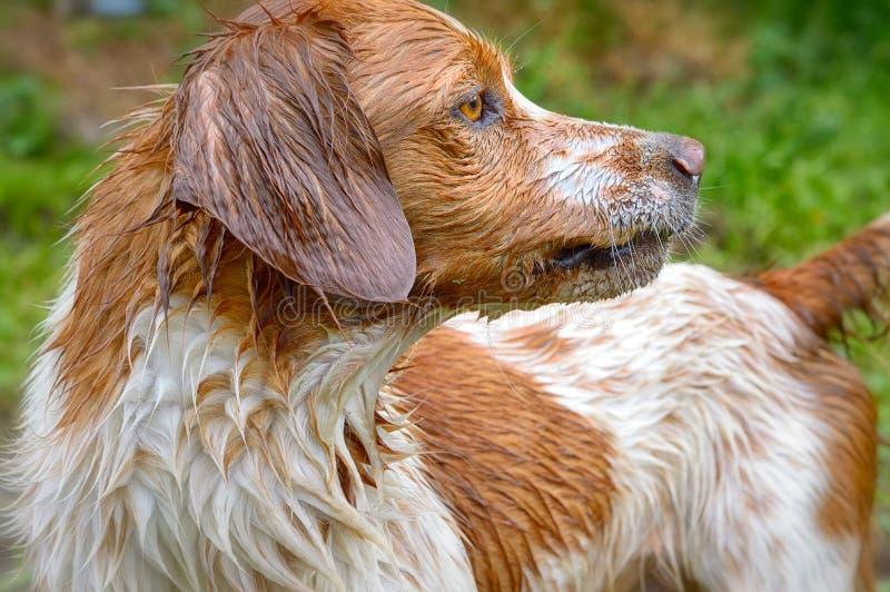 不列塔尼的狗portail 免版税库存照片