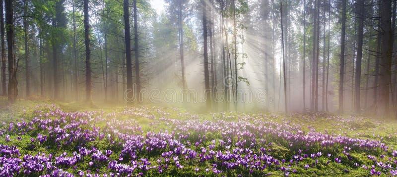 不可思议的喀尔巴阡山脉的森林在黎明 免版税图库摄影