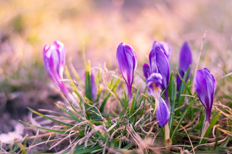 不可思议的春天看法开花生长在野生生物的番红花 紫色 免版税图库摄影
