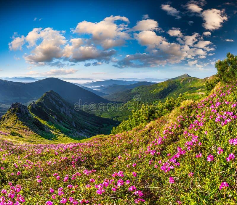 不可思议的桃红色杜鹃花花在夏天 库存照片