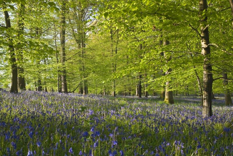 不可思议的森林和狂放的会开蓝色钟形花的草花 免版税库存图片
