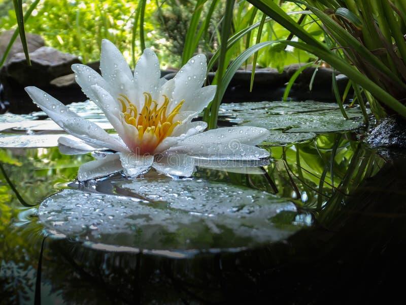 不可思议的特写镜头浪端的白色泡沫百合或莲花在池塘镜子的Marliacea Rosea有绿色叶子的 星莲属的瓣在下落的 免版税库存图片